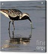 Black-bellied Plover Acrylic Print