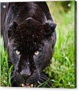 Black Jaguar  Acrylic Print