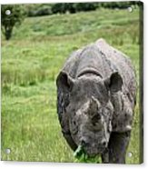 Black Rhinoceros Diceros Bicornis Michaeli In Captivity Acrylic Print by Matthew Gibson