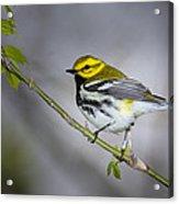 Black Throated Green Warbler Acrylic Print