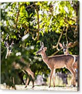3 Bucks Caught In A Orchard Acrylic Print