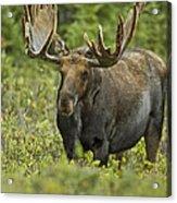 Bull Moose In Velvet  Acrylic Print