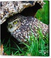 Burrowing Owl  Acrylic Print