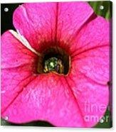 Calibrachoa Named Colorburst Rose Acrylic Print
