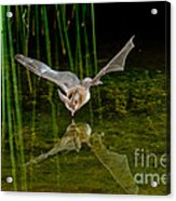 California Leaf-nosed Bat At Pond Acrylic Print