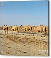 Camel. Acrylic Print