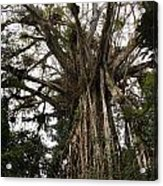 Cathedral Fig Tree Acrylic Print