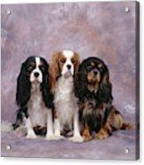 Cavalier King Charles Spaniels Acrylic Print