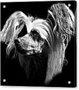 Chinese Crested Hairless Acrylic Print