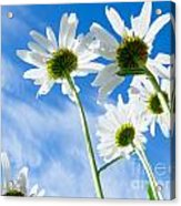 Close-up Shot Of White Daisy Flowers From Below Acrylic Print