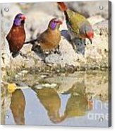 Colorful Birds From Africa Acrylic Print