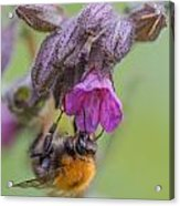 Common Carder Bee Acrylic Print
