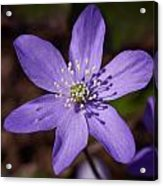 Common Hepatica Acrylic Print