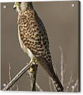 Common Kestrel Falco Tinnunculus Acrylic Print