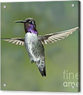 Costas Hummingbird Acrylic Print