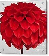 Dahlia Named Ali Oop Acrylic Print