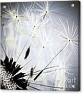 Dandelion Acrylic Print by Elena Elisseeva