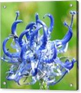 Devils Claw Flower Acrylic Print