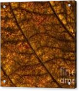 Dogwood Leaf Backlit Acrylic Print