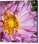 Double Click Cosmos Named Rose Bonbon Acrylic Print