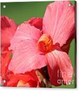 Dwarf Canna Lily Named Shining Pink Acrylic Print
