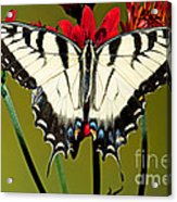 Eastern Tiger Swallowtail Butterfly Acrylic Print