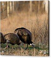 Eastern Wild Turkeys Acrylic Print