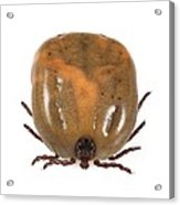 Engorged Ixodes Tick Acrylic Print by Science Photo Library
