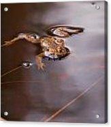 European Common Brown Frog Acrylic Print
