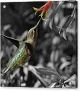 Female Anna's Hummingbird Acrylic Print by Old Pueblo Photography