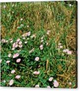Field Bindweed (convolvulus Arvensis) Acrylic Print