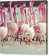 Flamingos On Lake In Andes Acrylic Print