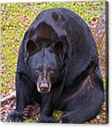 Florida Black Bear Acrylic Print