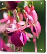 Fuchsia Named Lambada Acrylic Print