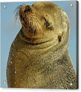 Galapagos Sea Lion Zalophus Wollebaeki Acrylic Print