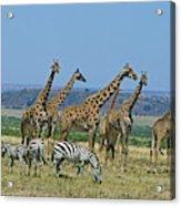 Girafe Masai Giraffa Camelopardalis Acrylic Print