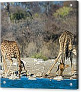Giraffes Giraffa Camelopardalis Acrylic Print