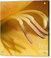Gladiolus Named Halloween Acrylic Print