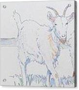 Goat Drawing Acrylic Print