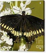 Gold Rim Swallowtail Butterfly Acrylic Print