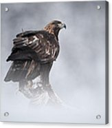 Golden Eagle Acrylic Print by Andy Astbury