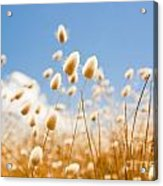 Golden Field Acrylic Print