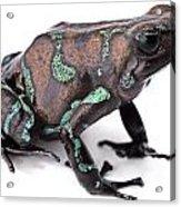 Golden Poison Dart Frog Acrylic Print