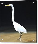 Great White Heron Acrylic Print