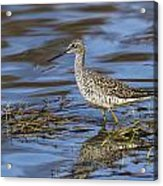 Greater Yellowlegs Acrylic Print