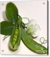 Green Peas In Pod With White Flower Acrylic Print