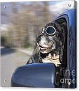Happy Dog Acrylic Print