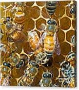 Honey Bees In Hive Acrylic Print