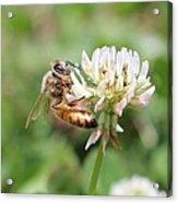 Honeybee On Clover Acrylic Print