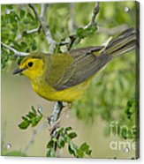 Hooded Warbler Acrylic Print